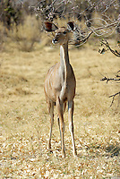 The greater kudu (tragelaphus strepsiceros) is Africas most handsome antelope.<br /> Moremi Wildlife Reserve, Botswana.<br /> September 2007.