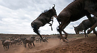 Eastern White-bearded Wildebeest herd running (Connochaetes taurinus), Maasai Mara National Reserve, Kenya.