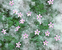 Storksbill wildflowers surrounded with cottonwood seeds in Columbia River Gorge Oregon