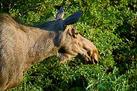 Cow moose, Portage Valley, Kenai Peninsula, Alaska