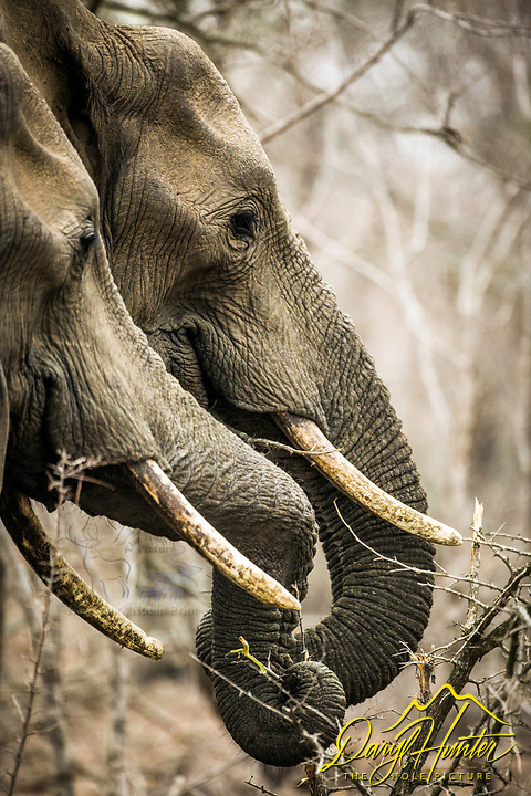 Two elephants browsing their way through the bushveld of Sabi Sands Game Reserve in South Africa.
