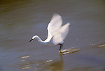 Snowy egret, Ding Darling National Wildlife Refuge, Florida, USA