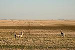 Two Pronghorn Antelope in the fields near Burstall, Saskatchewan. The proposed Energy East pipeline runs from Alberta to Saint John, New Brunswick and passes through Burstall, Saskatchewan.  (Credit: Robert van Waarden - http://alongthepipeline.com)