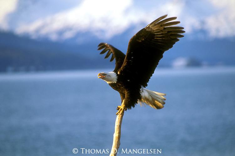 A Bald Eagle lands on a branch in Southeast Alaska.