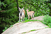 Sweden. Nordens Ark (Ark of the North) is a zoo in Bohuslän. Tadjiik markhor, a large goat with long corkscrew-like horns.