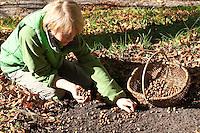 Gewöhnliche Hasel, Ernte, Kind, Junge sammelt reife Nüsse Haselnuß, Haselnuss, Früchte, Nuß, Nuss, Corylus avellana, Cob, Hazel, Coudrier, Noisetier commun