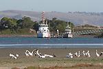 white pelicans in Bodega Bay