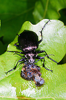 Kleiner Puppenräuber, mit erbeuteter Schmetterlings-Raupe, Beute, Räuber, Calosoma inquisitor, Lesser Searcher Beetle, Caterpillar-hunter, caterpillar hunter
