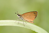 Least Skipper (Ancyloxypha numitor), Oklahoma, USA....