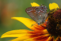 Juniper Hairstreak (Callophrys gryneus) Flower perch is Lazy Susan, during the first week of summer in Central Texas.
