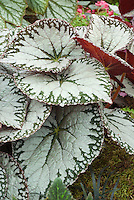 Begonia imperialis Silver Lace ornamental foliage in silver and green, with pink red undersides