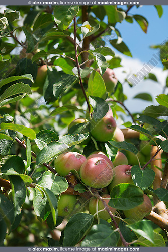 Closeup of apples on apple tree branch at a farm. Ontario, Canada.