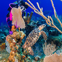 24 July 2015: SCUBA Diver Sally Herschorn discovers a Hawksbill Turtle (Eretmochelys imbricata) at Hammerhead Hill, on the North Shore of Grand Cayman Island. Located in the British West Indies in the Caribbean, the Cayman Islands are renowned for excellent scuba diving, snorkeling, beaches and banking.  Mandatory Credit: Ed Wolfstein Photo *** RAW (NEF) Image File Available ***