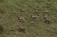 Eland antelope, run in the Loelle Savanna in the Boma-Jonglei Landscape, home to some of the most spectacular and important wildlife populations of ungulates in the planet, including  perhaps the largest wildlife migration in the world. An annual migration of  antelope colled the white-eared kob may rival the famous wildebeest migration of the Serengeti in neighboring Kenya and Tanzania.  (PHOTO: MIGUEL JUAREZ LUGO)