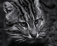Fishing Cat (Prionailurus viverrinus) in black & white, using selenium toning.