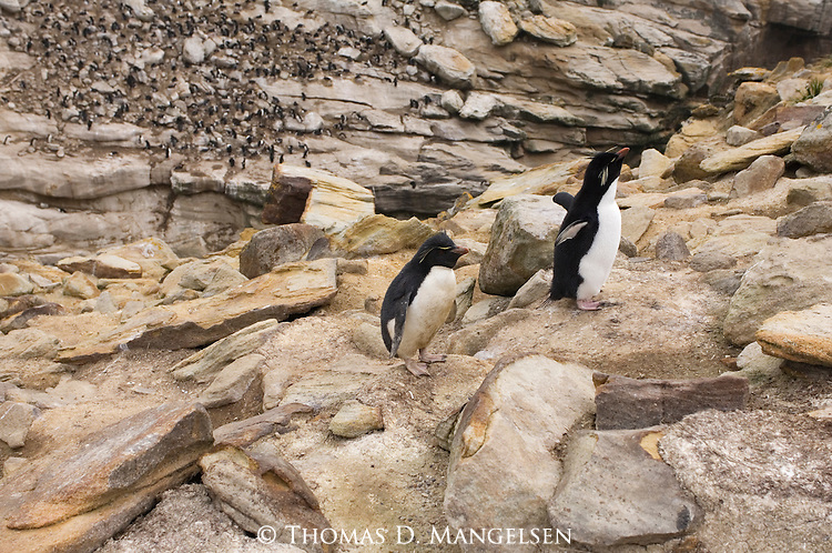 Two rockhopper penguins on West Point Island in the Falkland Islands.
