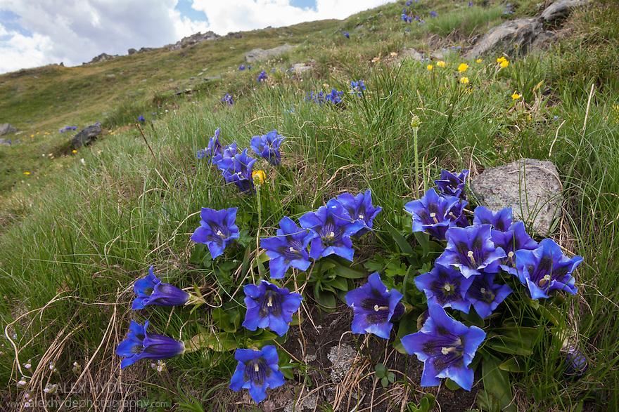 Trumpet / Stemless Gentian {Gentiana acaulis}. Aosta Valley, Monte Rosa Massif, Pennine Alps, Italy. July.