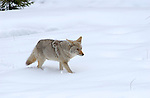 Coyote, Winter Hunt, Obsidian Cliffs, Yellowstone National Park, Wyoming
