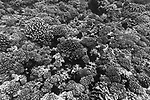 Apataki Atoll, Tuamotu Archipelago, French Polynesia; a field of hard corals viewed from above while floating past in a swift current