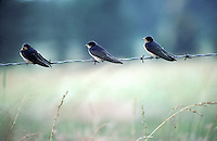 Three barswallows on a barbed wire fence, Hirundo rustica, overlooking a meadow of grass, Midwest USA