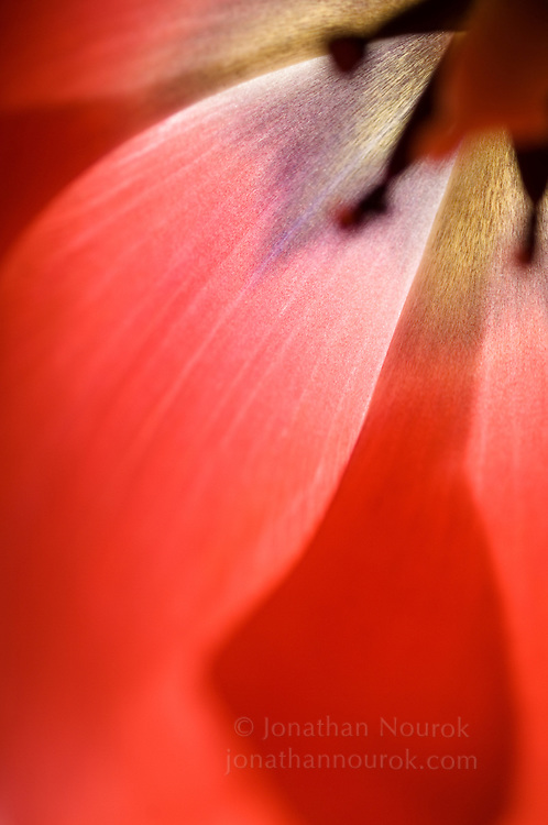 close-up of a tulip - commercial/editorial licensing for this image is available through: http://www.gettyimages.com/detail/200379350-002/Stone