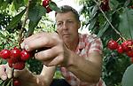 Foto: VidiPhoto<br /> <br /> ELST - Kersentijd begonnen. Kersenteler Joop van Pommeren uit Elst Gelderland plukt woensdag de eerste rijpe Hollandse kersen van het seizoen. Zo'n duizend bomen staan onder glas en leveren de komende weken een flinke oogst op, waarvoor klanten zelfs uit het hele land naar de Betuwe komen. Van Pommeren verwacht ondanks het koude voorjaar een topoogst, terwijl veel zachtfruittelers met de handen in het haar zitten. Bij die laatsten is door de nachtvorst in april en mei een groot deel van de knoppen bevroren. Omdat kersen onder glas geen tot weinig last hebben van vorst, regen, spreeuwen en de schadelijke suzuki fruitvlieg, is het telen in kassen een trend aan het worden. Nadeel is de hogere investeringskosten. Bovendien is kersentelen onder glas een kunst apart en een zaak van lange adem. Pas na vier jaar is er een fatsoenlijke oogst te verwachten. Van Pommeren is de enige in de wijde omtrek die kaskersen heeft. De meeste van zijn kersen worden aan huis verkocht.