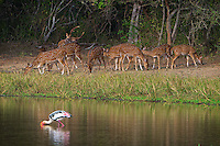 Serene setting in Yala National Park with Sri Lankan axis deer (Axis axis ceylonensis) or Ceylon spotted deer and a Painted Stork (Mycteria leucocephala) at a waterhole.
