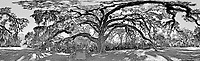 The Fairchild Oak, a 500 year old Oak Tree near Ormond Beach, Florida, is shown in this Black and White 360 degree panoramic images taken on January 16, 2014. (Photo by Brian Cleary/www.bcpix.com)