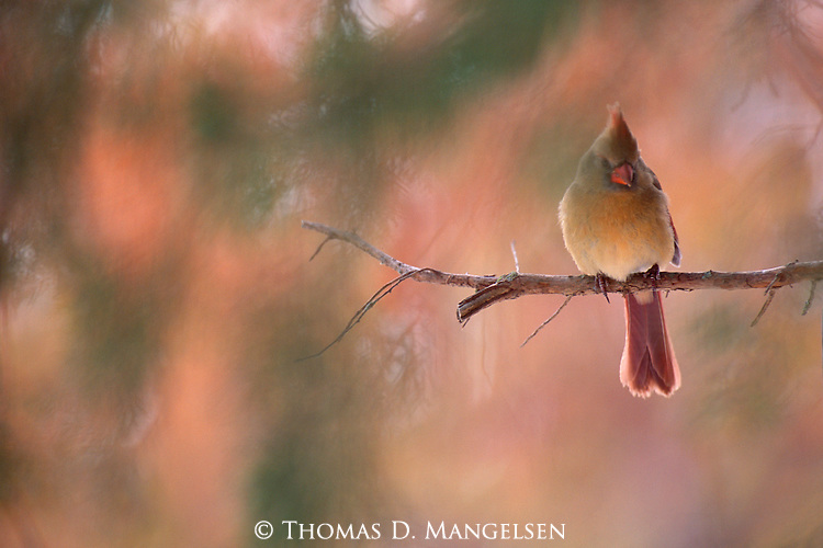 The quiet, simple beauty of a female cardinal and her chosen branch is showcased against the painterly brushstrokes of changing autumn foliage.