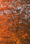 Brilliant Maple Tree, Autumn, TN