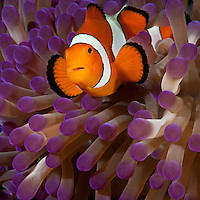 RA75441-D. False Clown Anemonefish (Amphiprion ocellatus), lives in symbiotic association with Magnificent Sea Anemone (Heteractis magnifica). Philippines, tropical East Indo- Asian Pacific oceans.<br /> Photo Copyright &copy; Brandon Cole. All rights reserved worldwide.  www.brandoncole.com