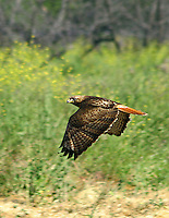 REDTAIL HAWK CRUISIN BY