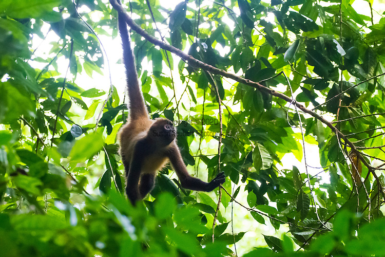 Costa Rica, Corcovado National Park, Osa Peninsula. A spider monkey foraging in the jungle canopy