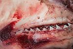 Shark jaws at a Malindi tourist market, Malindi, Kenya