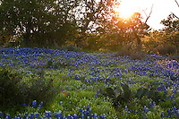 A field of the Texas state flower, the bluebonnet, at sunset in Llano County, Texas, USA