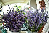 Bouquets of lavender at Alii Kula Lavender farm at the base of Haleakala, Kula