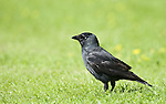 Jackdaw, Corvus monedula, Barnes, London, UK, standing in grass, small, black crow with a distinctive silvery sheen to the back of its head and pale eyes