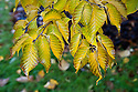 Japanese cherry birch (Betula grossa), end October.