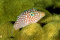 Smooth Pufferfish - Unsorted