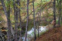 Pine Barren Forest, Burlington County, New Jersey