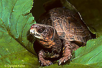 1R40-025x  Eastern Box Turtle - Terrapene carolina