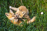 Pair of Red Fox kits (vulpes vulpes)  play fighting in some tall grass near Mayerthorpe, Alberta, Canada