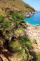 Dwarf palms [ Chamaerops humilis ] Riserva Naturale dello Zingaro [ Zingaro nature reserve ] Scopello, Castellammare Del Golfo , Sicily. also called European Fan Palm or Mediterranean Fan Palm