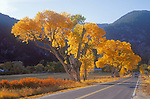 Colorful golden cottonwood trees in autumn along the highway to Genoa, Nev.
