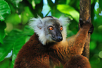 Female Black Lemur face (Eulemur macaco macaco), Lokobe Nature Special Reserve, Nosy Be, Northern Madagascar