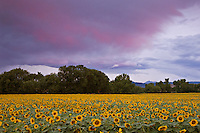 A large field of cultivated Sunflowers (Helianthus annuus), Colorado, USA.