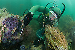 LA Waterkeeper diver removes sea urchins from a barren to help kelp gain foothold and re-establish kelp forest. Rocky Point, Palos Verdes, CA.