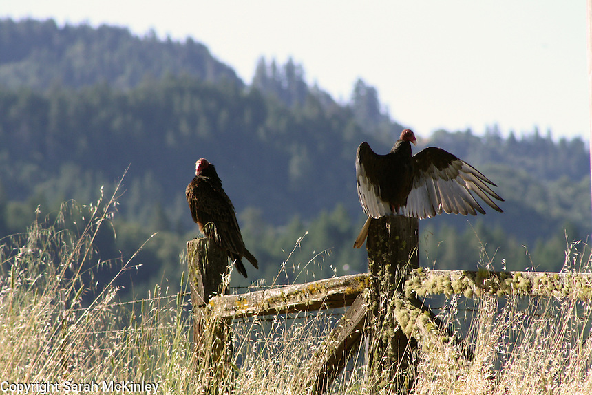 A pair of turkey vultures bask on a fence along rural Reynold's Highway near Willits in Mendocino County in Northern California.