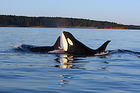 qd50040-D. Orcas (Orcinus orca) at sunset. Also called Killer Whales. Washington, USA, Pacific Ocean..Photo Copyright © Brandon Cole. All rights reserved worldwide.  www.brandoncole.com..This photo is NOT free. It is NOT in the public domain. This photo is a Copyrighted Work, registered with the US Copyright Office. .Rights to reproduction of photograph granted only upon payment in full of agreed upon licensing fee. Any use of this photo prior to such payment is an infringement of copyright and punishable by fines up to  $150,000 USD...Brandon Cole.MARINE PHOTOGRAPHY.http://www.brandoncole.com.email: brandoncole@msn.com.4917 N. Boeing Rd..Spokane Valley, WA  99206  USA.tel: 509-535-3489