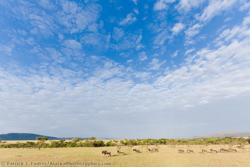 Wildebeests on the Masai Mara, Kenya